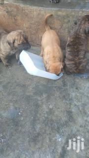 Baby Female Purebred Boerboel | Dogs & Puppies for sale in Central Region, Wakiso