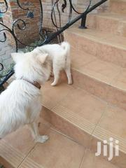 Dog Spitz Japanis Already Vaccinated | Dogs & Puppies for sale in Central Region, Kampala