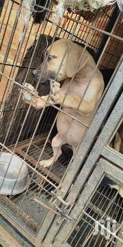 Baby Male Purebred Boerboel | Dogs & Puppies for sale in Central Region, Kampala