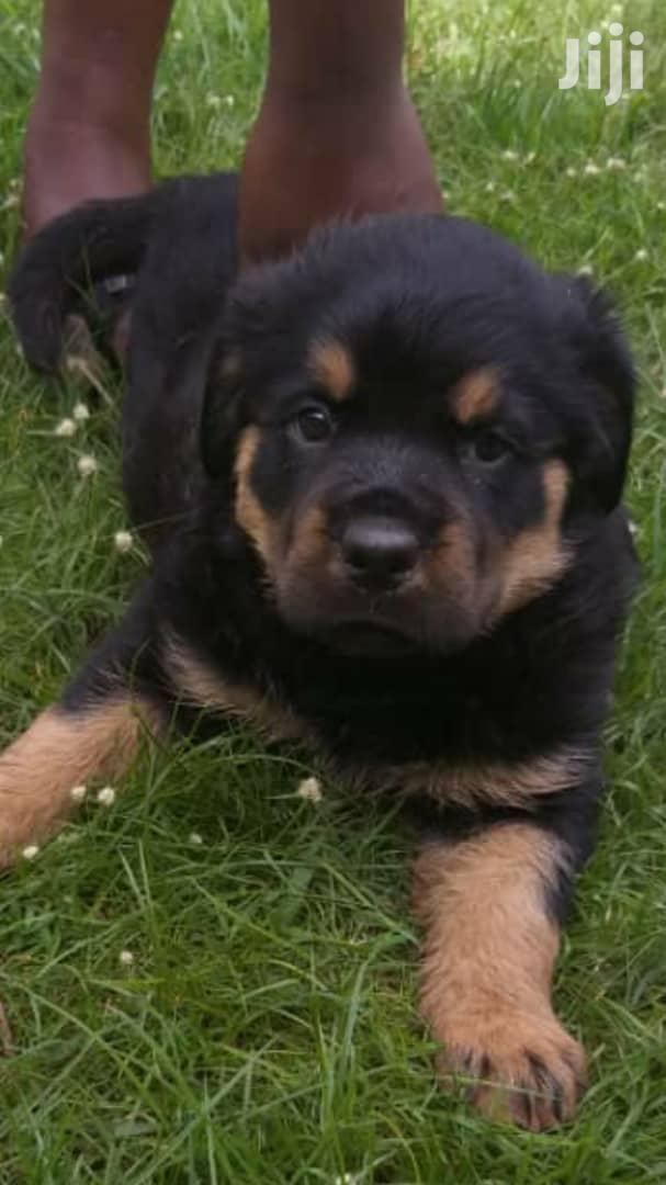 Archive: Young Male Purebred Rottweiler