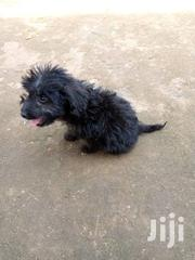 Baby Female Purebred Maltese | Dogs & Puppies for sale in Central Region, Wakiso
