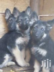 Baby Male Purebred German Shepherd Dog | Dogs & Puppies for sale in Central Region, Wakiso
