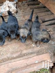 Young Male Purebred German Shepherd Dog | Dogs & Puppies for sale in Central Region, Wakiso