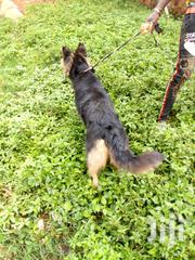 Senior Male Purebred German Shepherd Dog | Dogs & Puppies for sale in Central Region, Wakiso