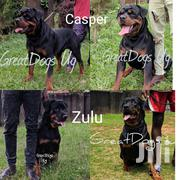 Baby Female Purebred Rottweiler | Dogs & Puppies for sale in Central Region, Kampala