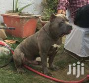 AMERICAN BULLY PITBULL | Dogs & Puppies for sale in Central Region, Kampala