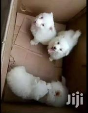 Young Female Purebred Japanese Spitz | Dogs & Puppies for sale in Central Region, Kampala