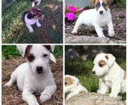 Young Male Mixed Breed Jack Russell Terrier | Dogs & Puppies for sale in Central Region, Kampala
