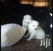 Baby Male Purebred American Eskimo Dog | Dogs & Puppies for sale in Central Region, Kampala