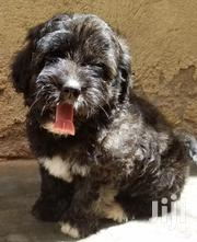 Baby Male Purebred Maltese Shih Tzu | Dogs & Puppies for sale in Central Region, Kampala