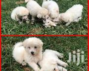 Baby Female Purebred Maltese | Dogs & Puppies for sale in Central Region, Kampala
