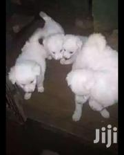 Baby Female Purebred Coton De Tulear | Dogs & Puppies for sale in Central Region, Kampala