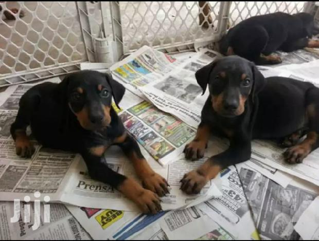 Young Female Purebred Doberman Pinscher