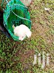 Young Male Purebred Japanese Spitz   Dogs & Puppies for sale in Kampala, Central Region, Uganda