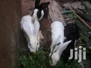 Rabbits for Sell | Other Animals for sale in Central Region, Kampala