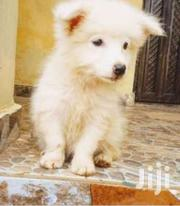 Japanese Spitz White Puppies | Dogs & Puppies for sale in Central Region, Kampala