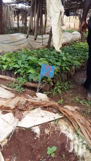 Coffee Seedlings | Feeds, Supplements & Seeds for sale in Central Region, Wakiso