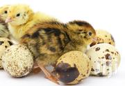 Ferterlised Quail Eggs | Livestock & Poultry for sale in Central Region, Kampala