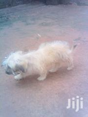 Young Male Purebred Maltese | Dogs & Puppies for sale in Central Region, Luweero