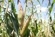 Maize Garden 1 Acre | Feeds, Supplements & Seeds for sale in Central Region, Mukono