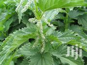 Fresh Stinging Nettle, Kamya, Ekyicuragyenyi Needed | Feeds, Supplements & Seeds for sale in Central Region, Kampala