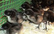Pure Breed | Livestock & Poultry for sale in Central Region, Kampala