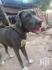 Great Dane | Dogs & Puppies for sale in Central Region, Wakiso