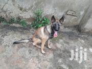 Senior Female Purebred Belgian Malinois | Dogs & Puppies for sale in Central Region, Kampala