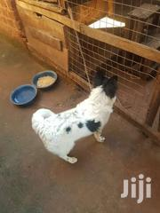 Japanese Spitz On Sale | Dogs & Puppies for sale in Central Region, Kampala