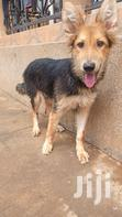 Senior Male Purebred German Shepherd Dog | Dogs & Puppies for sale in Kampala, Central Region, Uganda