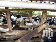 Ready For Any Ceremony | Other Animals for sale in Central Region, Kampala