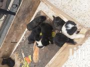 Young Male Purebred | Dogs & Puppies for sale in Central Region, Kampala