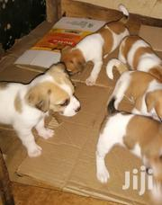 Young Male Purebred Jack Russell Terrier | Dogs & Puppies for sale in Central Region, Kampala