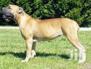 Boerboels For Sale | Dogs & Puppies for sale in Central Region, Kampala
