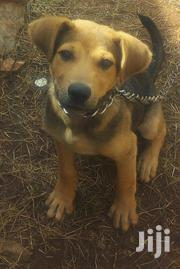 Young Male Purebred American Foxhound | Dogs & Puppies for sale in Central Region, Wakiso