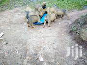Baby Male Mixed Breed Boerboel | Dogs & Puppies for sale in Central Region, Kampala