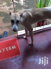 Adult Male Mixed Breed Barbet | Dogs & Puppies for sale in Central Region, Kampala