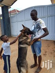 Professional Dog Trainer | Pet Services for sale in Central Region, Kampala