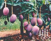 Mango Tommy Artkins | Feeds, Supplements & Seeds for sale in Central Region, Wakiso