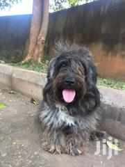 Havanese Dog | Dogs & Puppies for sale in Central Region, Kampala