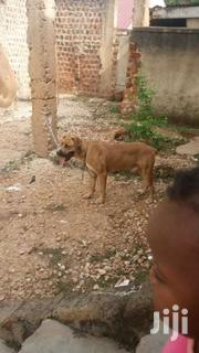 Guard Dog | Dogs & Puppies for sale in Central Region, Kampala