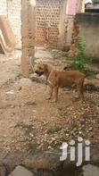 Guard Dog   Dogs & Puppies for sale in Kampala, Central Region, Nigeria