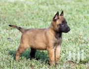 Baby Female Purebred Belgian Malinois | Dogs & Puppies for sale in Central Region, Kampala