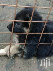 Baby Female Purebred German Shepherd Dog | Dogs & Puppies for sale in Central Region, Wakiso