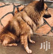 Male Pure Breed Long Cort German Sherperd | Dogs & Puppies for sale in Central Region, Kampala