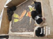 Young Male Mixed Breed | Dogs & Puppies for sale in Central Region, Kampala