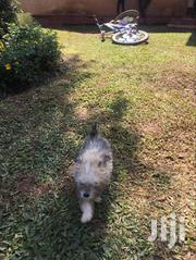 Young Male Purebred Australian Terrier | Dogs & Puppies for sale in Central Region, Kampala