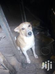Young Male Mixed Breed Mongrel | Dogs & Puppies for sale in Central Region, Kampala