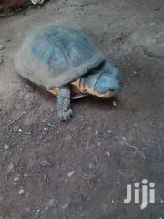 Totaus For Sell | Reptiles for sale in Central Region, Kampala