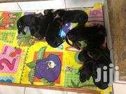 Young Female Purebred Doberman Pinscher | Dogs & Puppies for sale in Central Region, Kampala